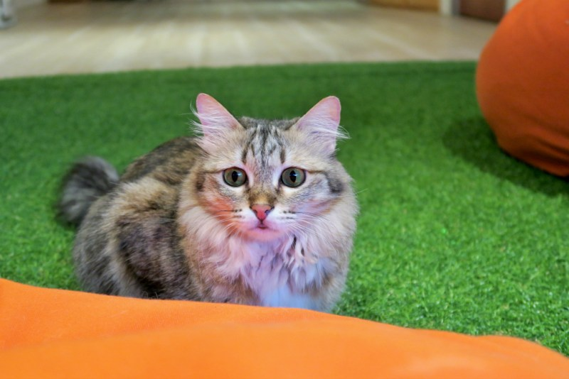 purradise cat cafe 7