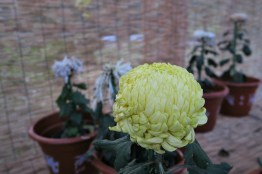 chrysanthemum-12