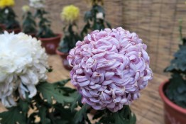 chrysanthemum-14
