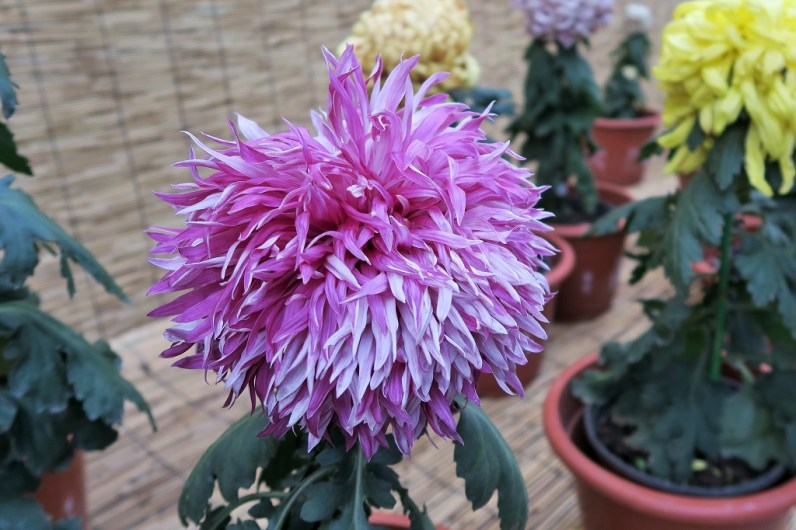 chrysanthemum-2