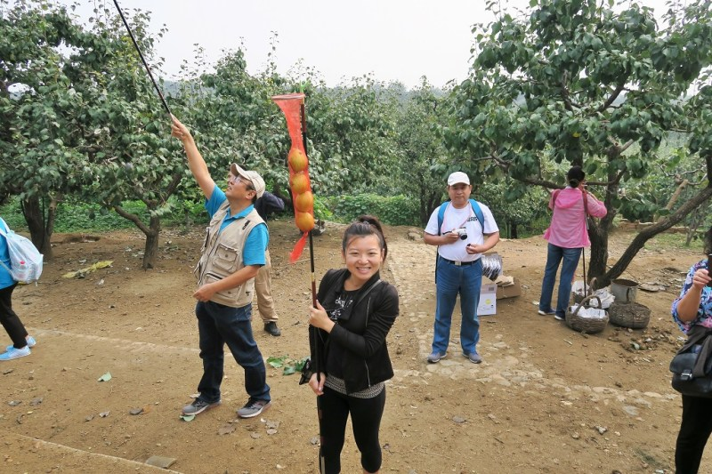 pear-picking-13