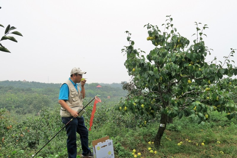 pear-picking-18