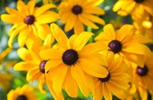 Rudbeckia: Sturdy, upright plants with long season of bloom. Huge, light yellow flowers.