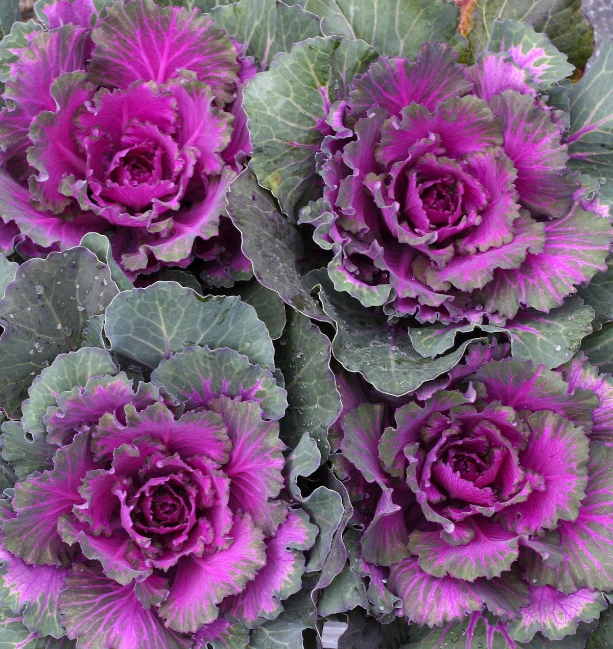 Ornamental Cabbage Kale Sloat Garden Center