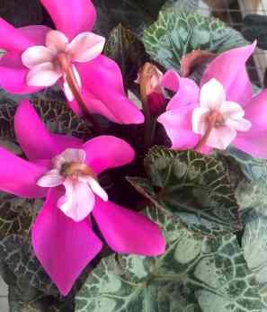 Cyclamen fleur en vogue