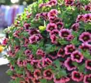 Calibrachoa hot pink