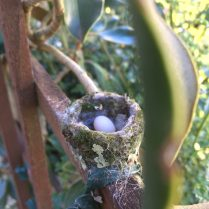 She completed the nest and laid the first egg a few days later