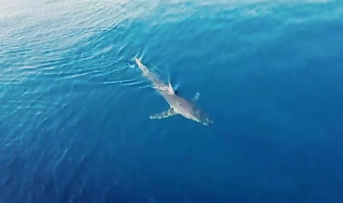 Во водите на Јонското море уловен редок вид на ајкула