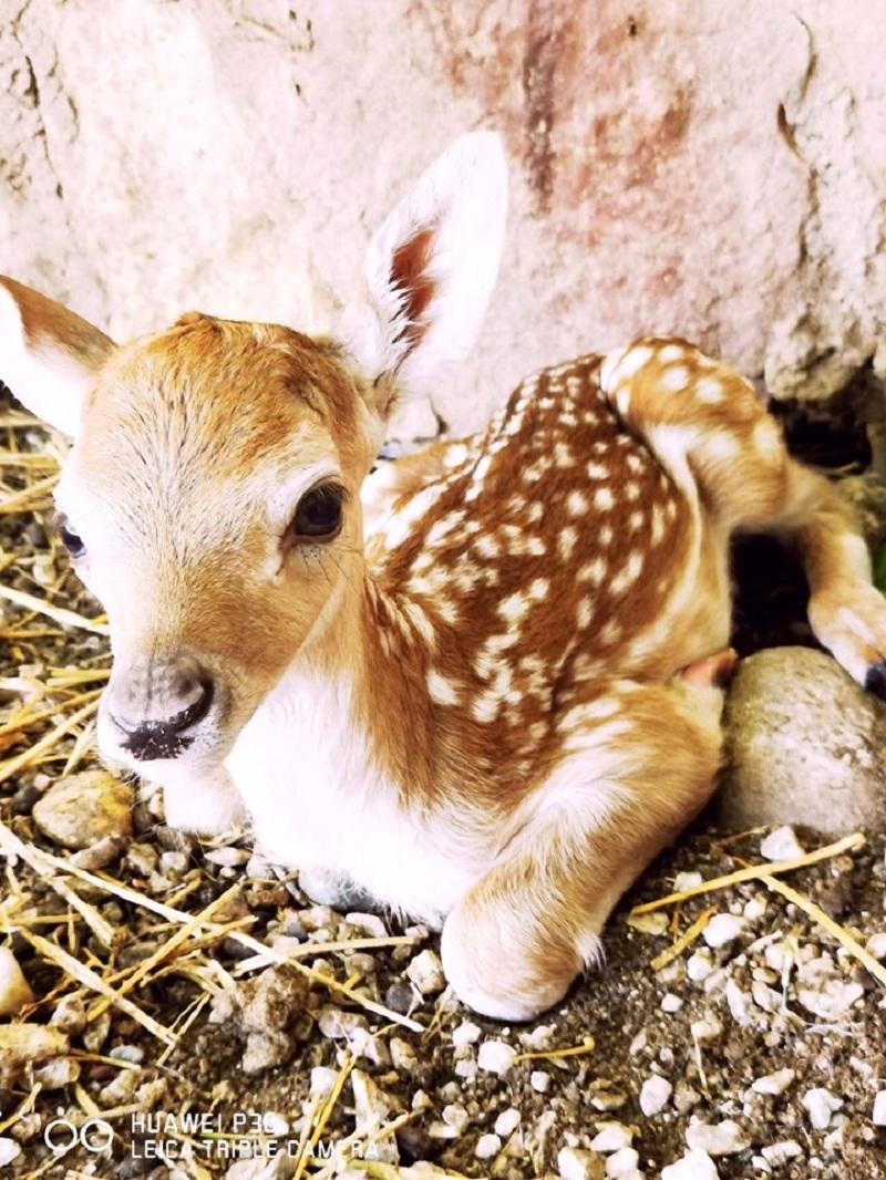 Зоолошката градина доби нов жител – се роди Бамби
