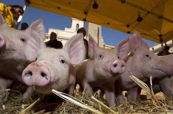 ФАО: Афиканската свинска чума се шири низ Европа и Азија