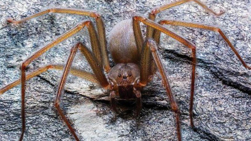 Пронајден нов вид пајак кој е отровен и јаде месо!