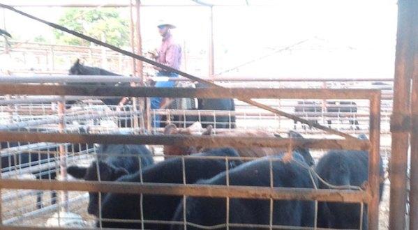 Templeton Livestock Market
