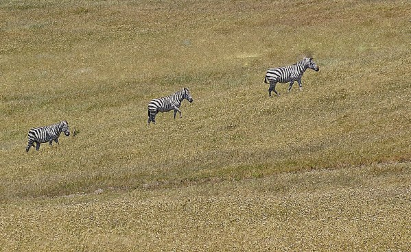 Seeing Stripes - The Secret Band of Central Coast Zebras | SLO Horse News