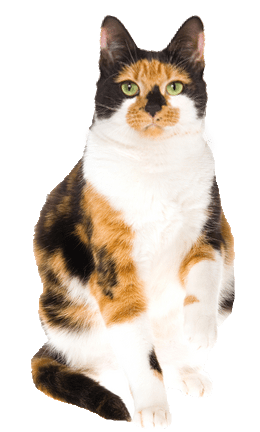 Calico Cat Cards Birthday Thank You Holidays Amp More