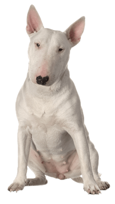 Bull Terrier Cards Birthday Thank You Holidays Amp More