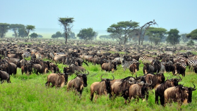 Follow-the-Herds-of-the-Great-Migration