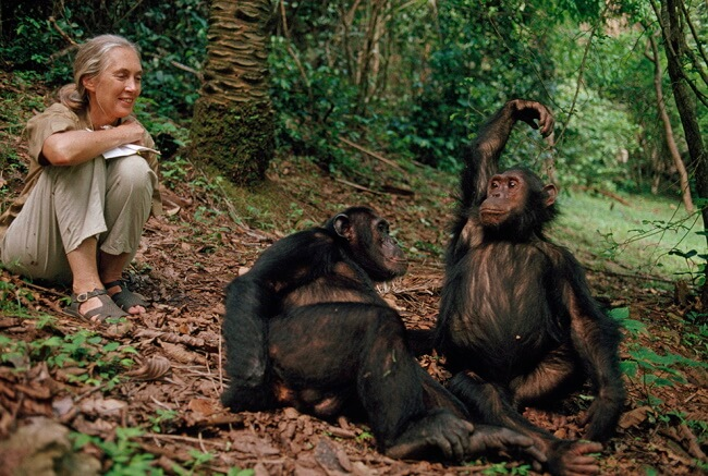 Meet the Chimpanzees of Gombe National Park