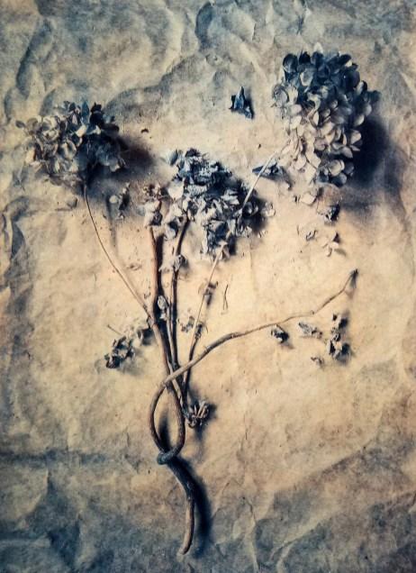 Dried hydrangea © Diana Bloomfield