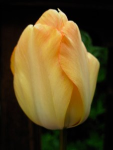 tulip-daydreampshop2