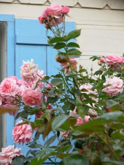 cottage-roses