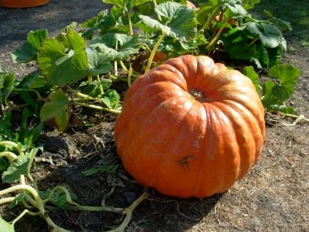 pumpkinvine