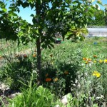 An apricot tree in the garden at Sweetwater Spectrum; the flowers are California Poppies and Wild Radish and Yarrow