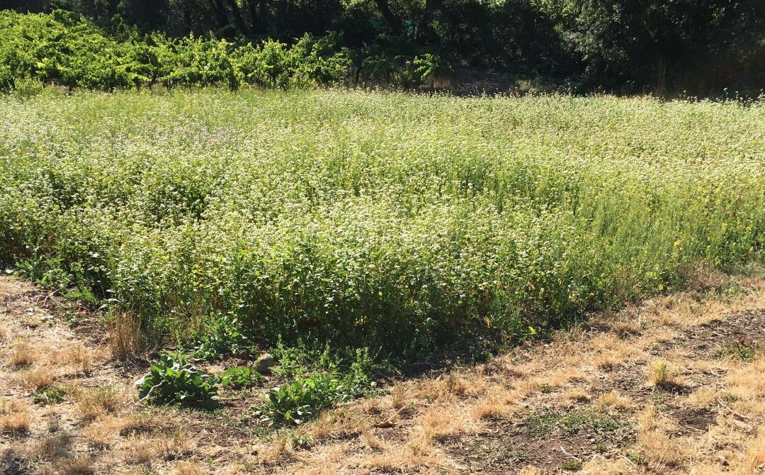 Buckwheat to attract beneficial insects