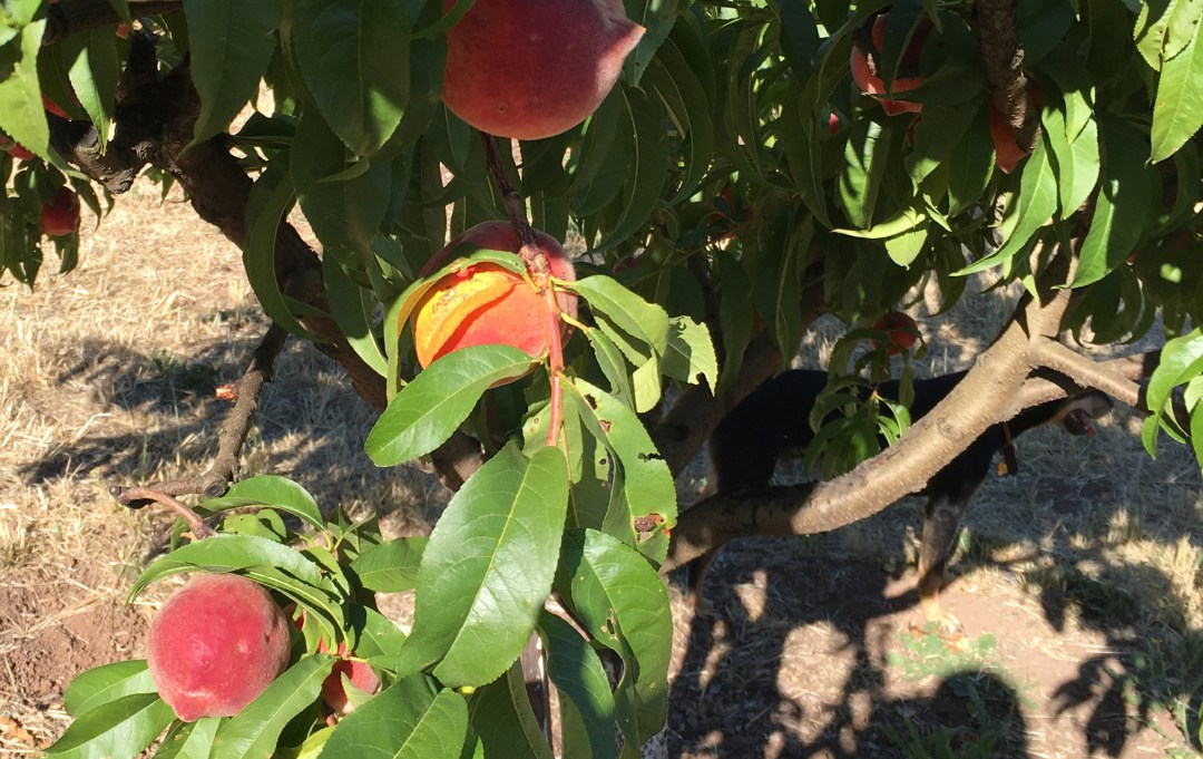 Peaches on tree at Old Hill Ranch