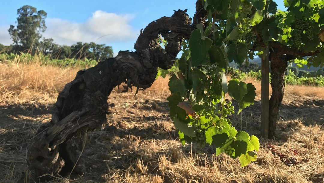 Old Vines on Bucklin's Old Hill Ranch