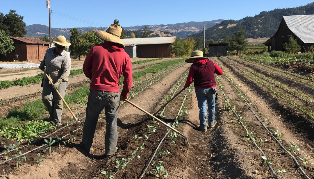 The Berniers also cultivate and harvest tomatoes, corn, turnips, asparagus, eggplant, table grapes, melons, winter squash and more.