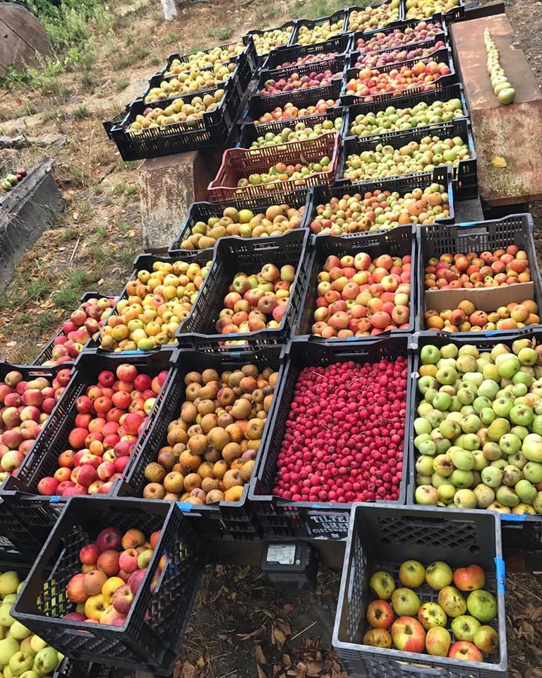 Cornucopia of apples
