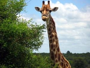 giraffe-85657_640