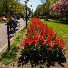 Photos: Tulip Festival in Stockholm