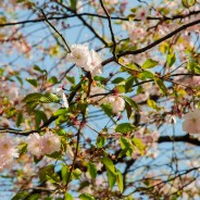 Photos: Stockholm's Cherry Blossoms