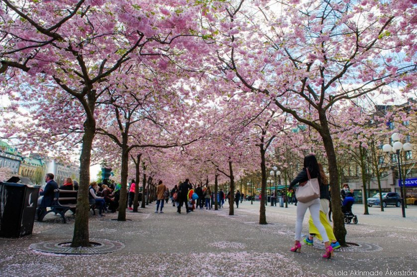 2015_CherryBlossoms_010