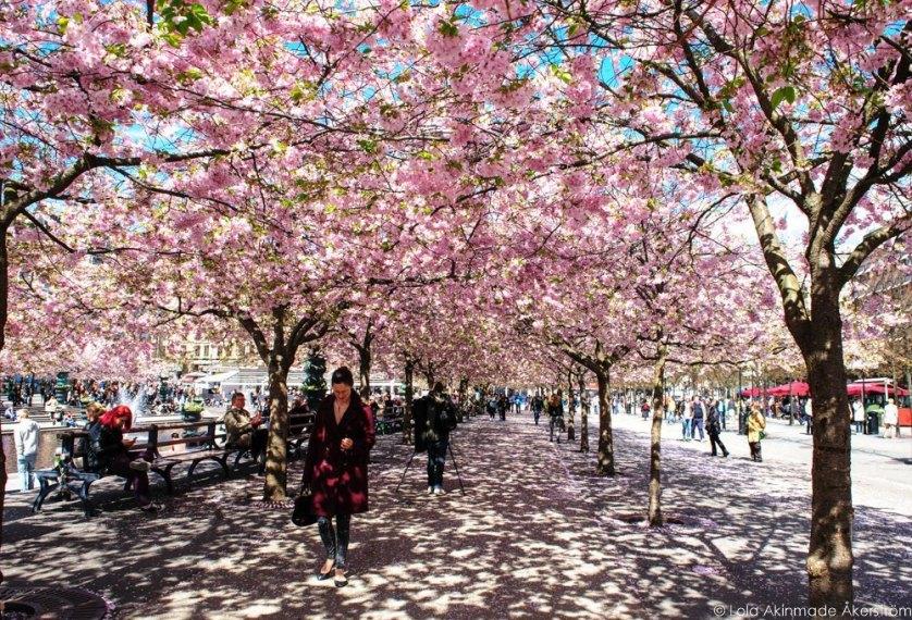 2015_CherryBlossoms_040