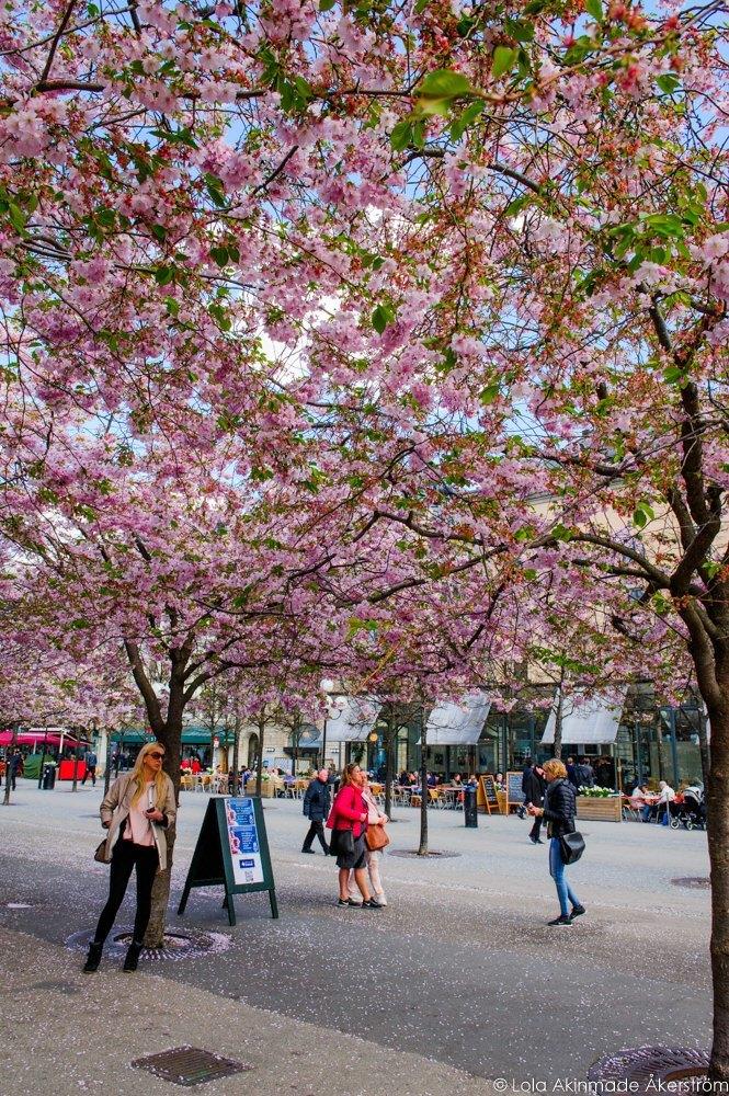 2015_CherryBlossoms_052