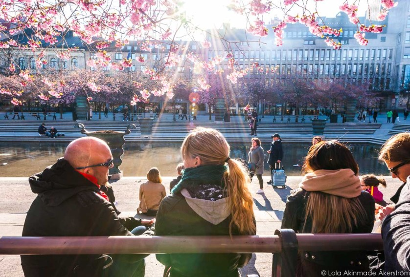 Cherry Blossoms in Stockholm