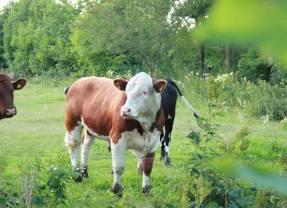 Witness the Happiest Cows in Sweden—Kosläpp Near Stockholm
