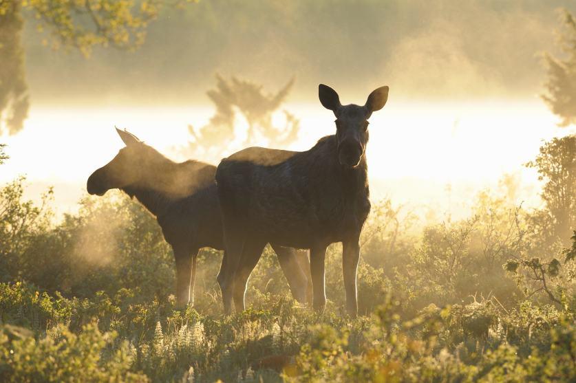 Green Trails Moose Safari in Sweden