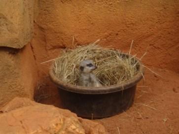 Meerkat in a bowl