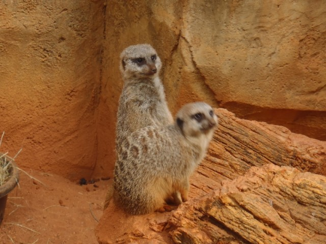 Two meerkats on guard