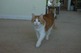 Hodge the cat trotting