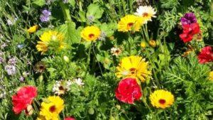 WILD FLOWERS FROM SMA CLAREGALWAY GARDEN
