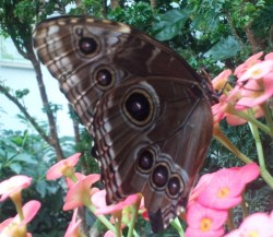 Common Blue Morpho (Morpho peledes) - Wings Closed