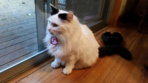 White cat with black ear spots and black tail, wearing a Ty Beanie baby tag on collar.