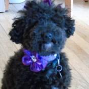 Small Poodle at Large   Harper B.   I-paw playlist   Dog Blog