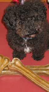 Small Poodle at Large | Harper B. | Dog Blog | Dogwart's