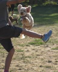 Small Poodle at Large | Harper B. | Dog Blog |Dogwart's