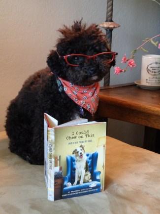 Small Poodle at Large | Harper B. | Dog Blog | Canine Lit